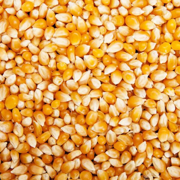 Graine mais Pop corn